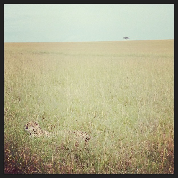 Cheetah sunbathing in the Savannah, Masai Mara, Kenya
