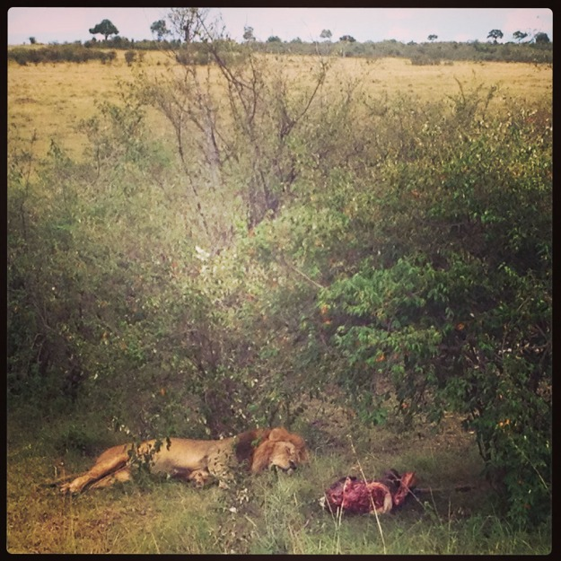 A Lion With its kill, sleeping off its meal, in the Masai Mara